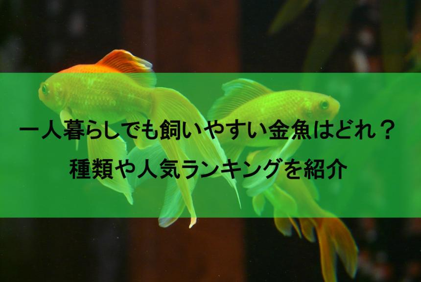 一人暮らしでも飼いやすい金魚の種類はどれ?人気ランキングも併せて紹介!